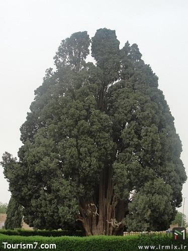درخت افسانه ای ایران سرو ابرکوه